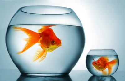 image of two goldfish